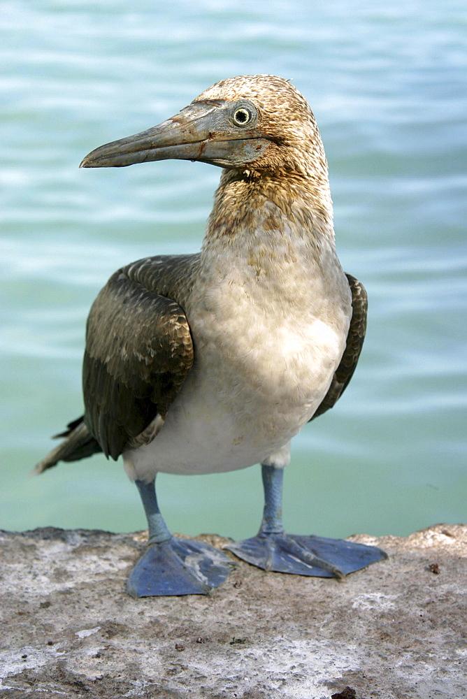 Booby Santa Cruz. Galapagos. - 1004-562