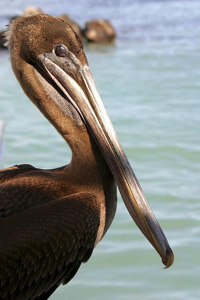Pelican close up Santa Cruz. Galapagos. - 1004-563