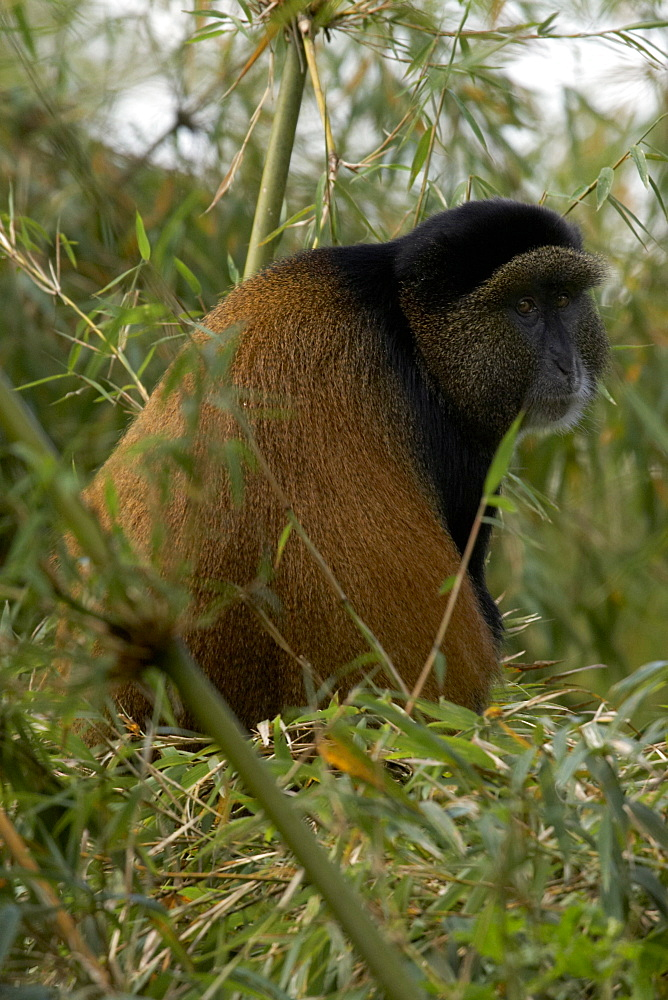 Golden Monkey (Cercopithecus mitis kandti) in the Virunga National Park, Rwanda - 1005-47
