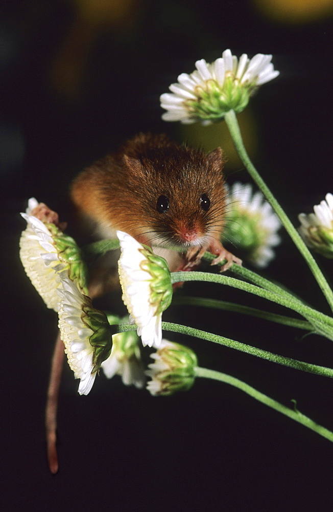 Harvest Mouse, Micromys minutus - 1005-65