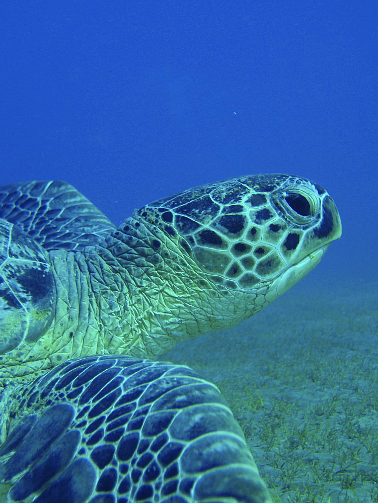 Green turtle (Chelonia mydas). Abu Dabbab, Red Sea, Egypt. - 1022-41