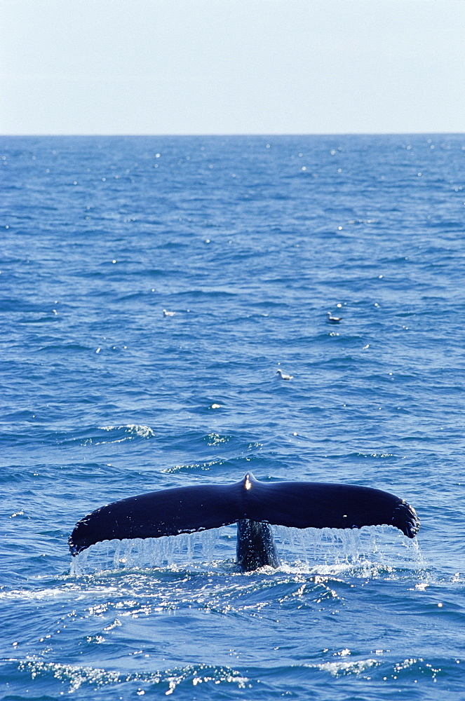 Humpback whale fluking up to dive (Megaptera novaeanglia), West of Iceland - 1036-120