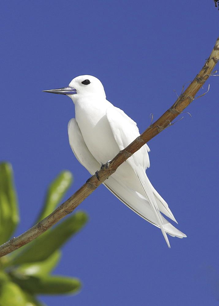 White / Fairy tern (Gygis alba) resting on branch. Bird Island, Seychelles, Indian Ocean  (A4 only). - 1036-201