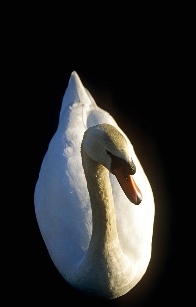 Mute swan (Cygnus olor) on lake in evening sun.  UK - 1036-203