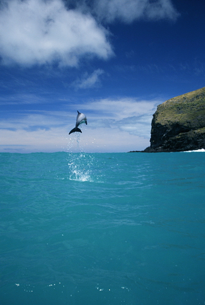 Hector's dolphins (Cephalorhynchus hectori) leaping in display. Mouth of Akaroa harbour, near Christchurch in New Zealand.