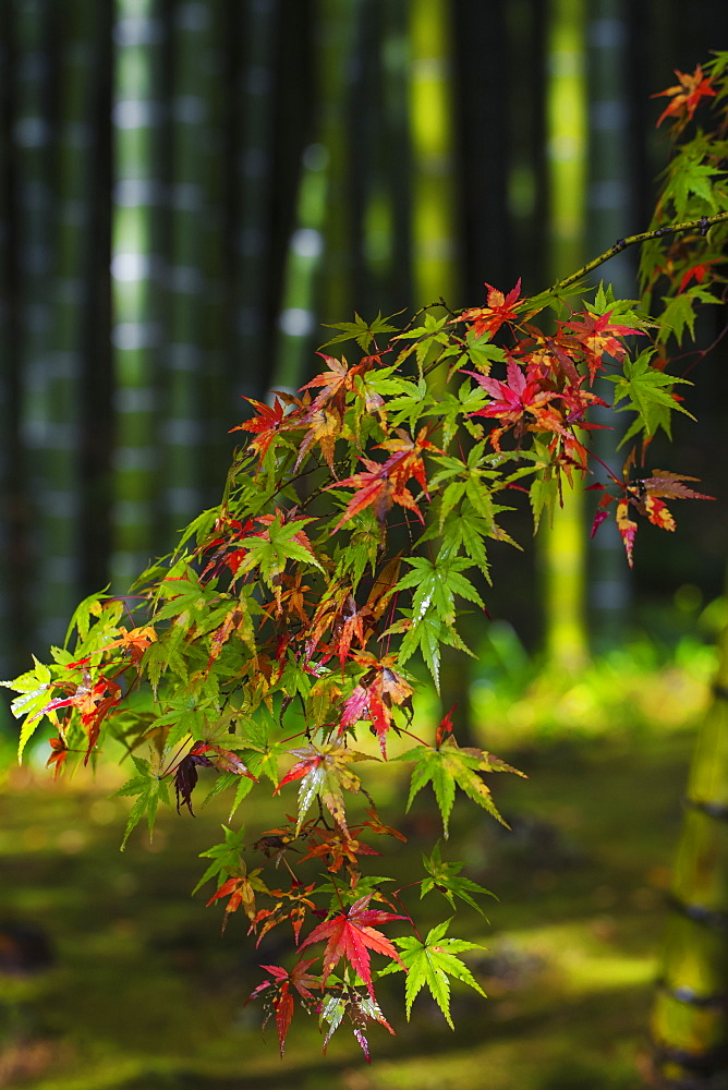 Japan, Kyoto, Arashiyama, Tenryuji Temple, Bamboo Grove - 1104-1298