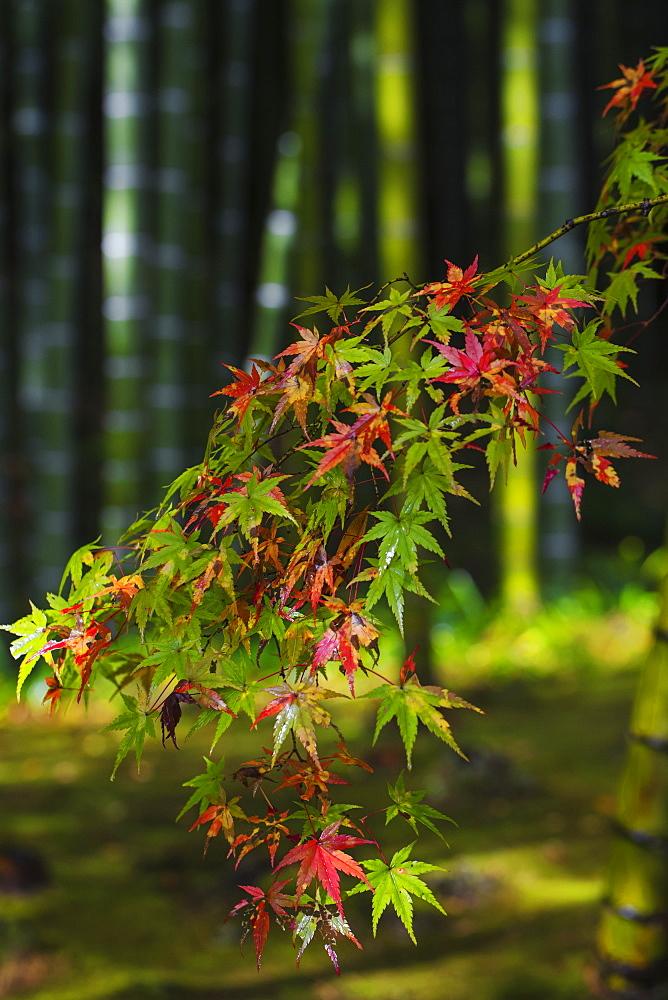 Acer leaves, Bamboo Grove, Tenryuji Temple, Arashiyama, Kyoto, Japan, Asia