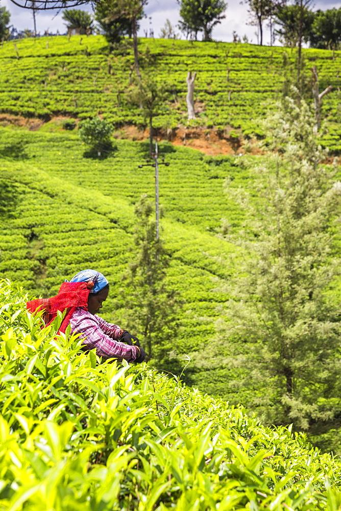 Tea plucker, Nuwara Eliya, Central Province, Sri Lanka, Asia