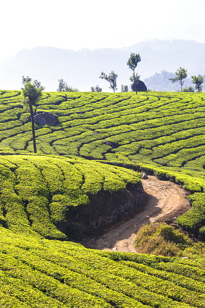 View over tea estates, Munnar, Kerala, India, Asia