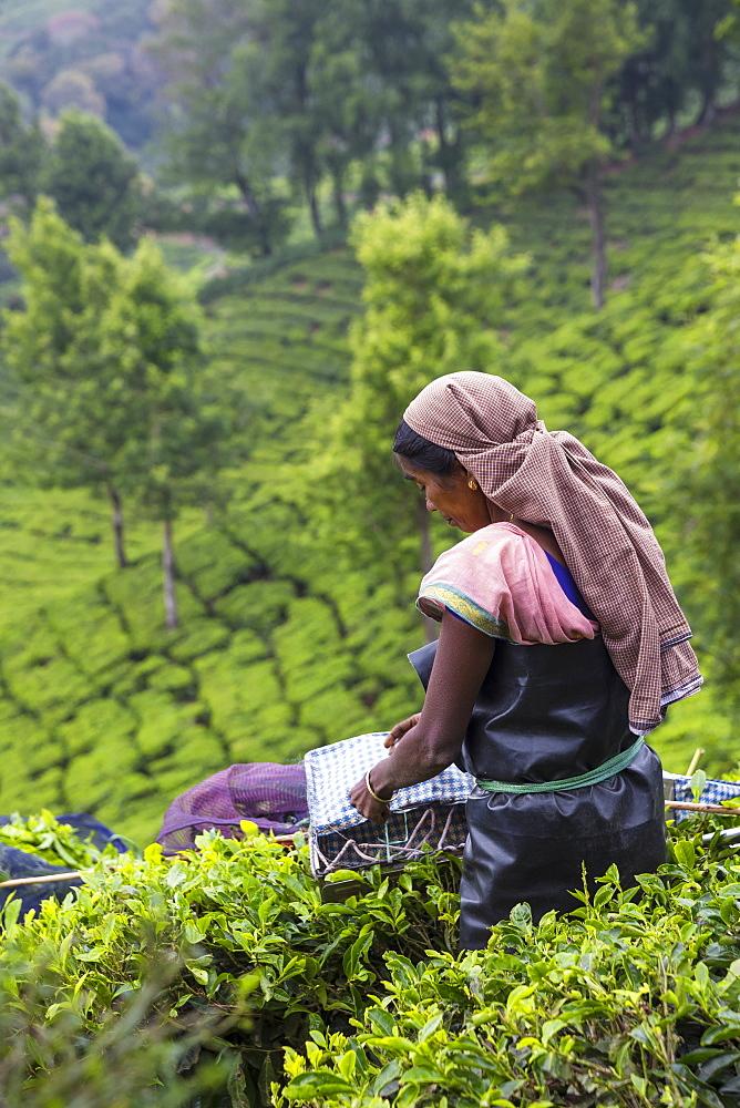Tea picker at top station, Munnar, Kerala, India, Asia