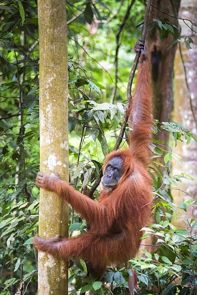 Female Orangutan (Pongo Abelii) in the rainforest near Bukit Lawang, Gunung Leuser National Park, North Sumatra, Indonesia, Southeast Asia, Asia