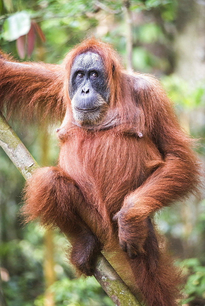 Funny photo of an Orangutan (Pongo Abelii) in the jungle near Bukit Lawang, Gunung Leuser National Park, North Sumatra, Indonesia, Southeast Asia, Asia