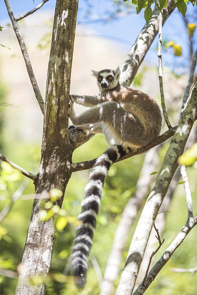 Ring-tailed lemur (Lemur catta), Isalo National Park, Ihorombe Region, Southwest Madagascar, Africa