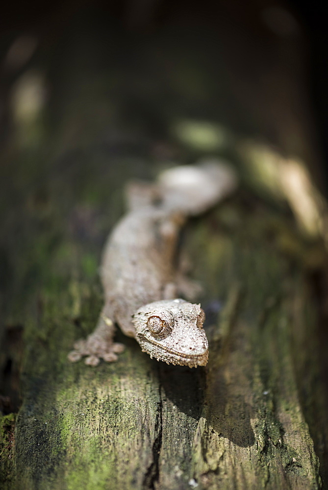 Leaf-tailed gecko (Baweng Satanic leaf gecko) (Uroplatus phantasticus), endemic to Madagascar, Africa