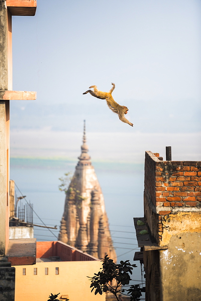 Monkey, Varanasi, Uttar Pradesh, India, Asia - 1109-3168