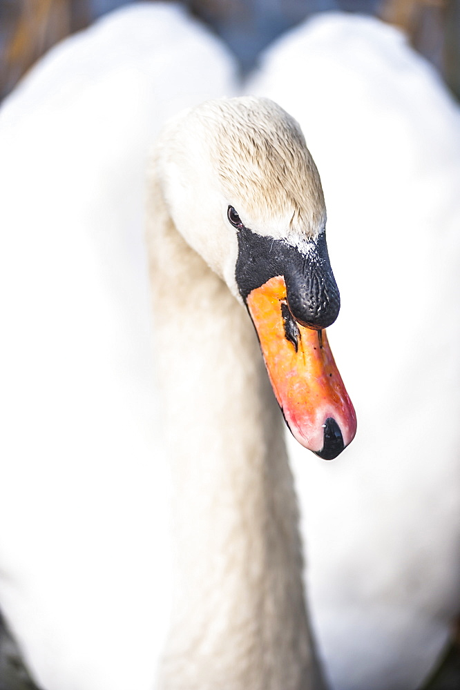 Swan at Llanmynech on the border of England and Wales, United Kingdom, Europe