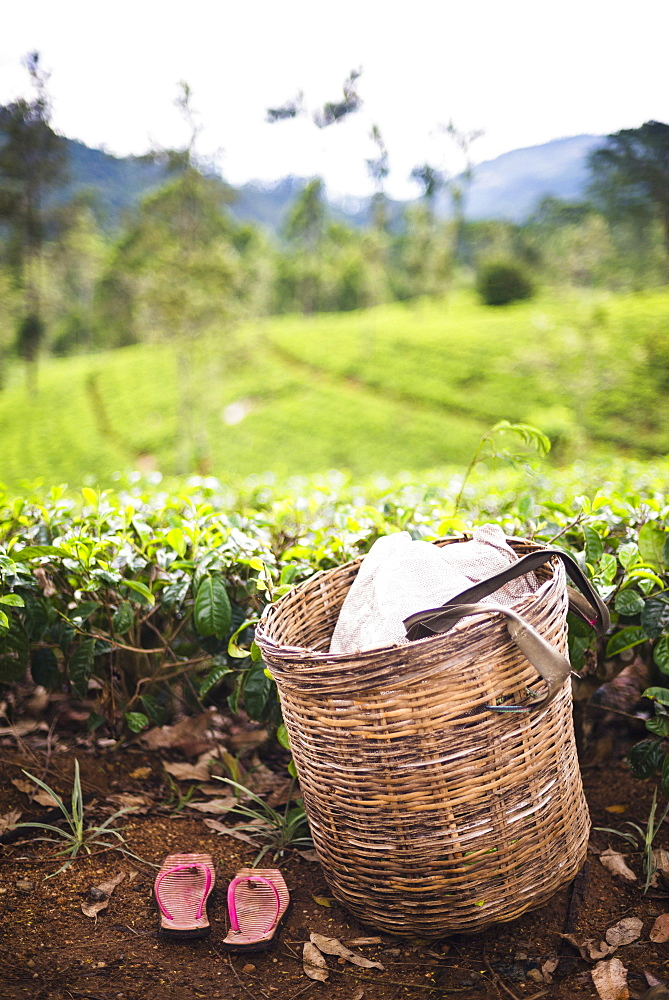 Tea pluckers basket and shoes at a tea plantation, Central Highlands, Nuwara Eliya District, Sri Lanka, Asia