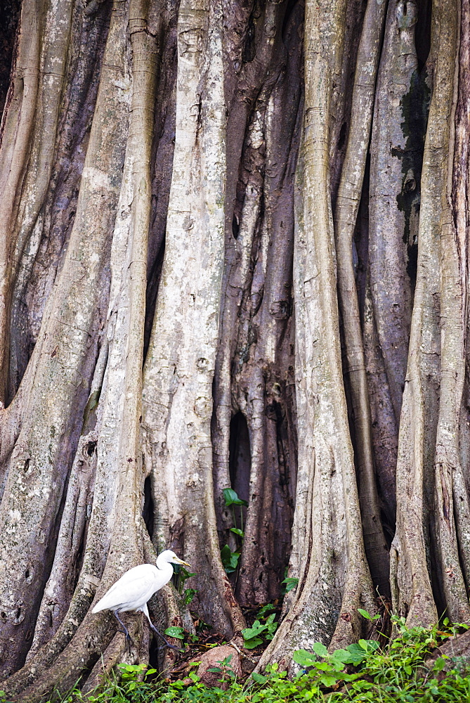 Great egret (great white heron) (Ardea Alba) at Sri Maha Bodhi, Anuradhapura, Sri Lanka, Asia