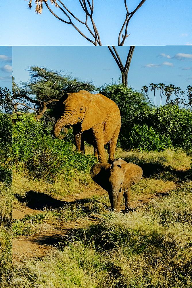 Elephant matriarch and her calf, Samburu National Park, Kenya, East Africa, Africa