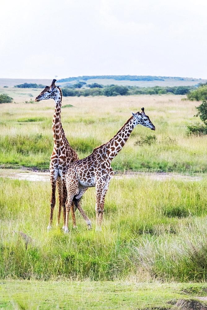 A pair of giraffe, Maasai Mara National Reserve, Kenya, East Africa, Africa