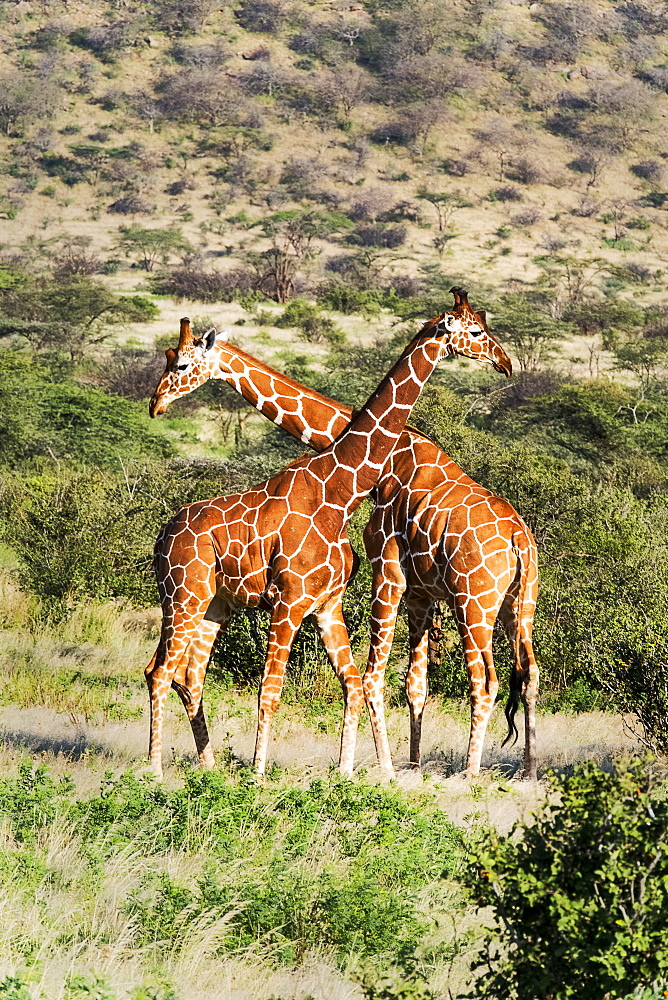 Two reticulated giraffes necking, Samburu National Reserve, Kenya, East Africa, Africa - 1111-42