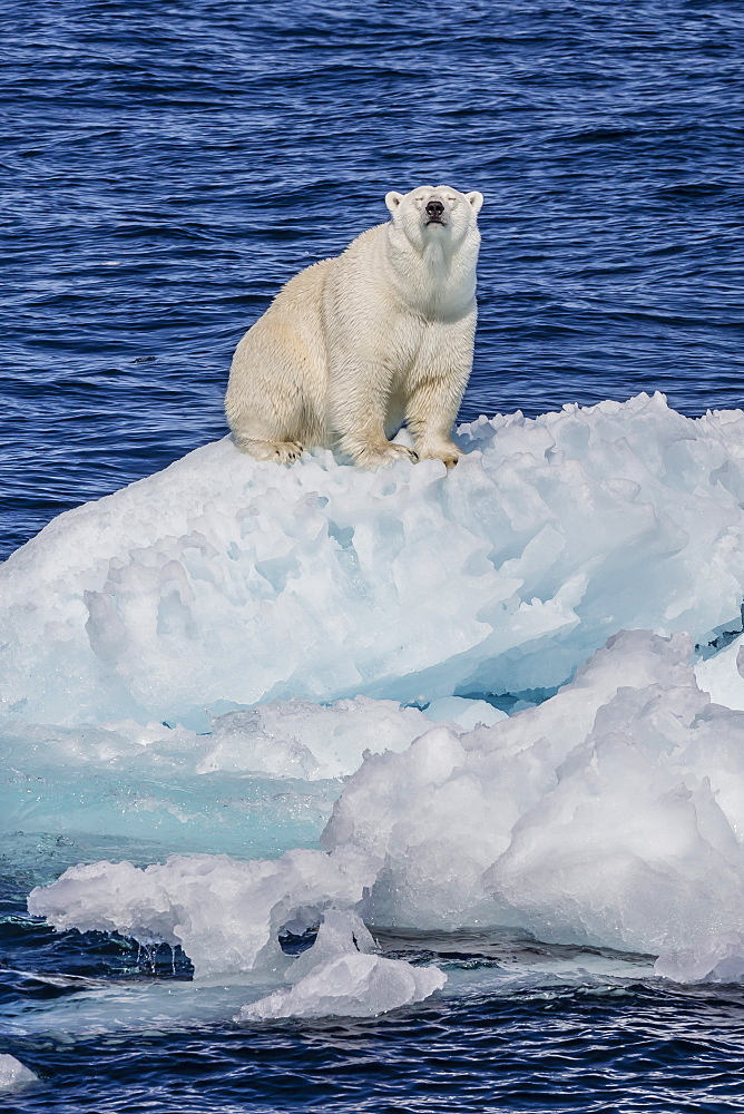 Adult polar bear (Ursus maritimus) on small ice floe, Cumberland Peninsula, Baffin Island, Nunavut, Canada, North America