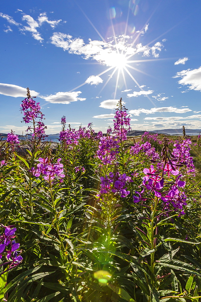 Dwarf fireweed (River Beauty willowherb) (Chamerion latifolium), Hebron, Labrador, Canada, North America
