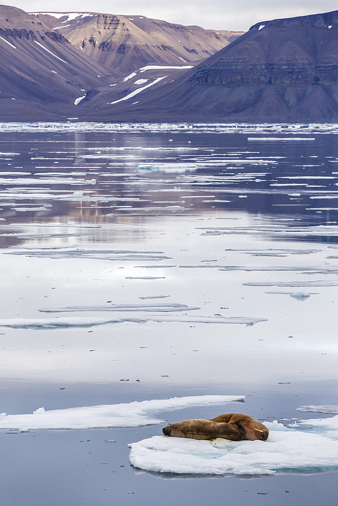 Adult walrus (Odobenus rosmarus) on ice floe in Maxwell Bay, Devon Island, Nunavut, Canada, North America