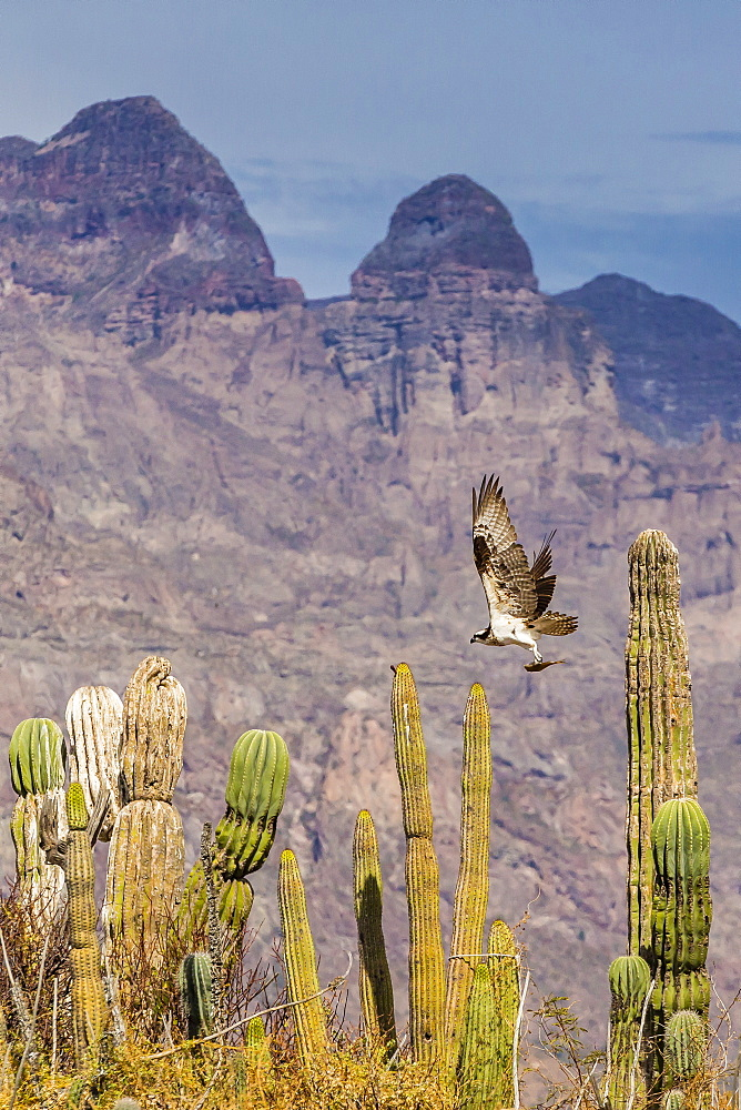Osprey (Pandion haliaetus) taking flight with fish near Honeymoon Bay, Isla Danzante, Baja California Sur, Mexico, North America