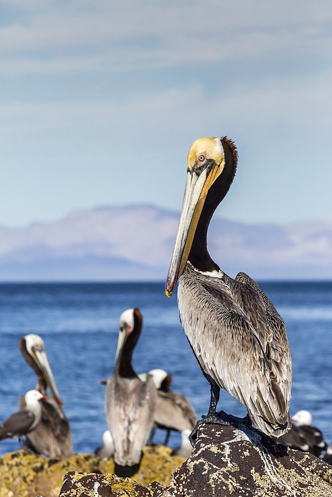 Brown pelican (Pelecanus occidentalis) portrait at Isla Angel de la Guarda, Baja California, Mexico, North America