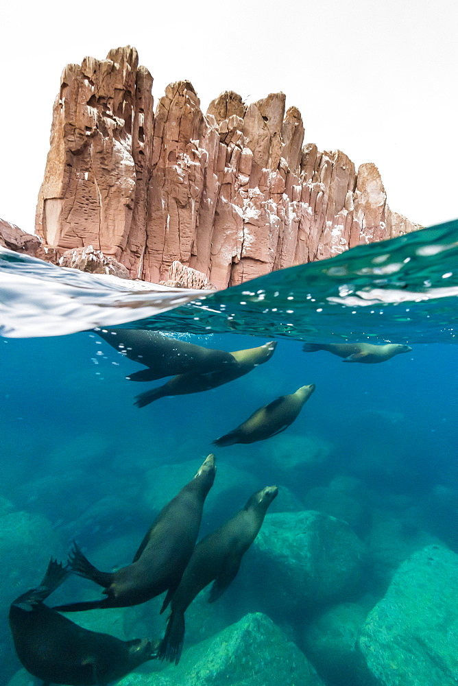 California sea lions (Zalophus californianus) underwater at Los Islotes, Baja California Sur, Mexico, North America