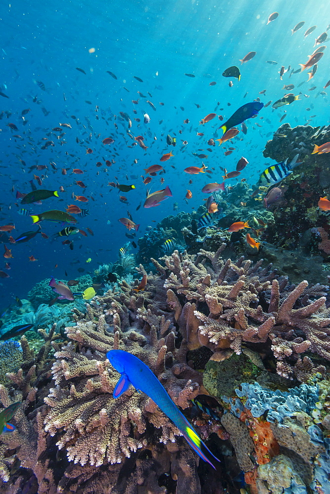 A profusion of coral and reef fish on Batu Bolong, Komodo Island National Park, Indonesia, Southeast Asia, Asia