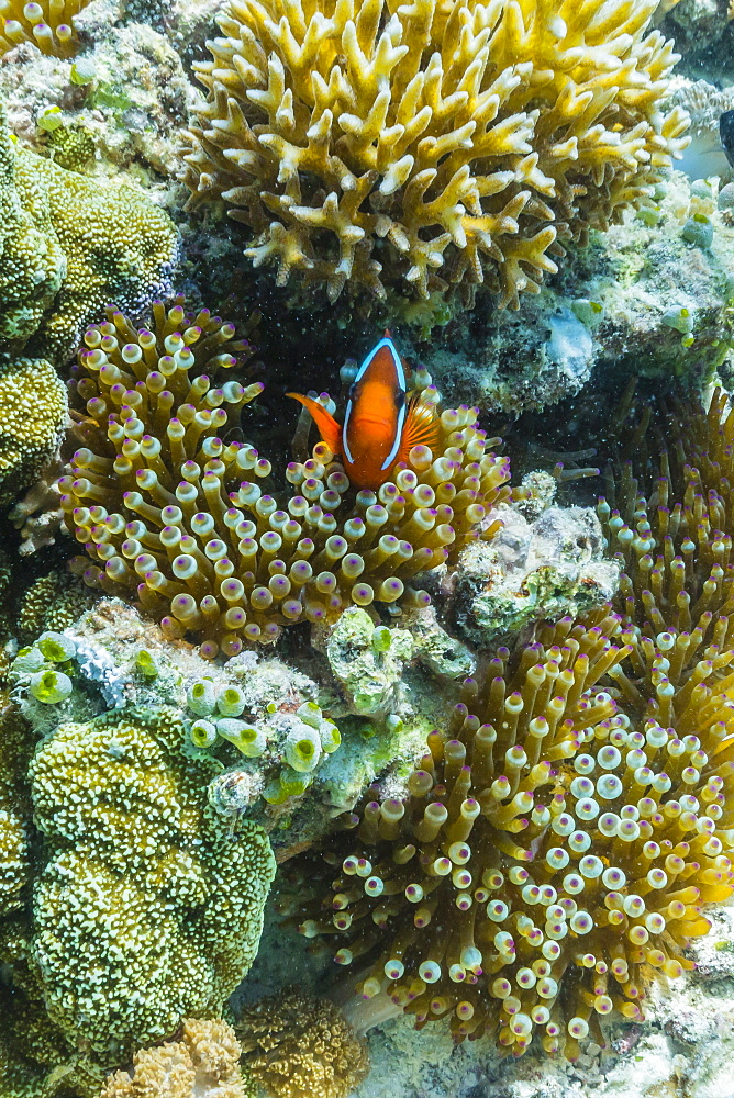 Anemonefish in anemone on underwater reef on Jaco Island, Timor Sea, East Timor, Southeast Asia, Asia