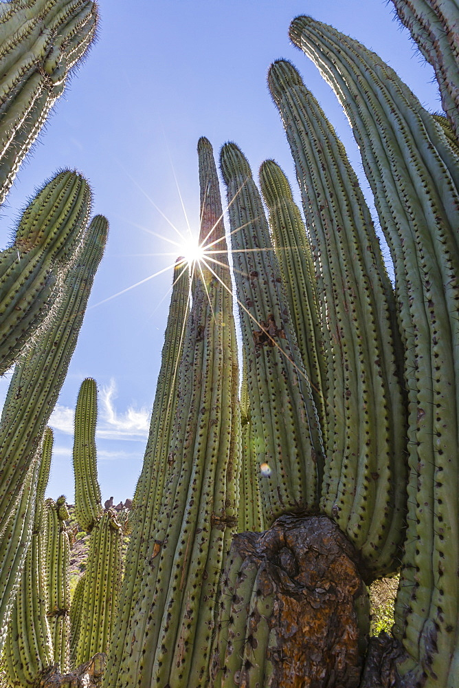 Organ pipe cactus (Stenocereus thurberi), with sunburst, Himalaya Beach, Sonora, Mexico, North America - 1112-2489