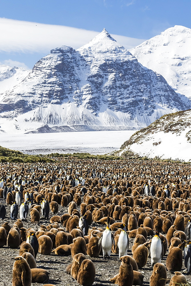 Adult and juvenile king penguins (Aptenodytes patagonicus), at breeding colony at Salisbury Plain, South Georgia, Polar Regions
