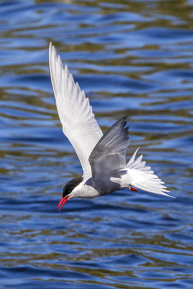Antarctic tern (Sterna vittata georgiae) in flight in Ocean Harbor, South Georgia, Polar Regions
