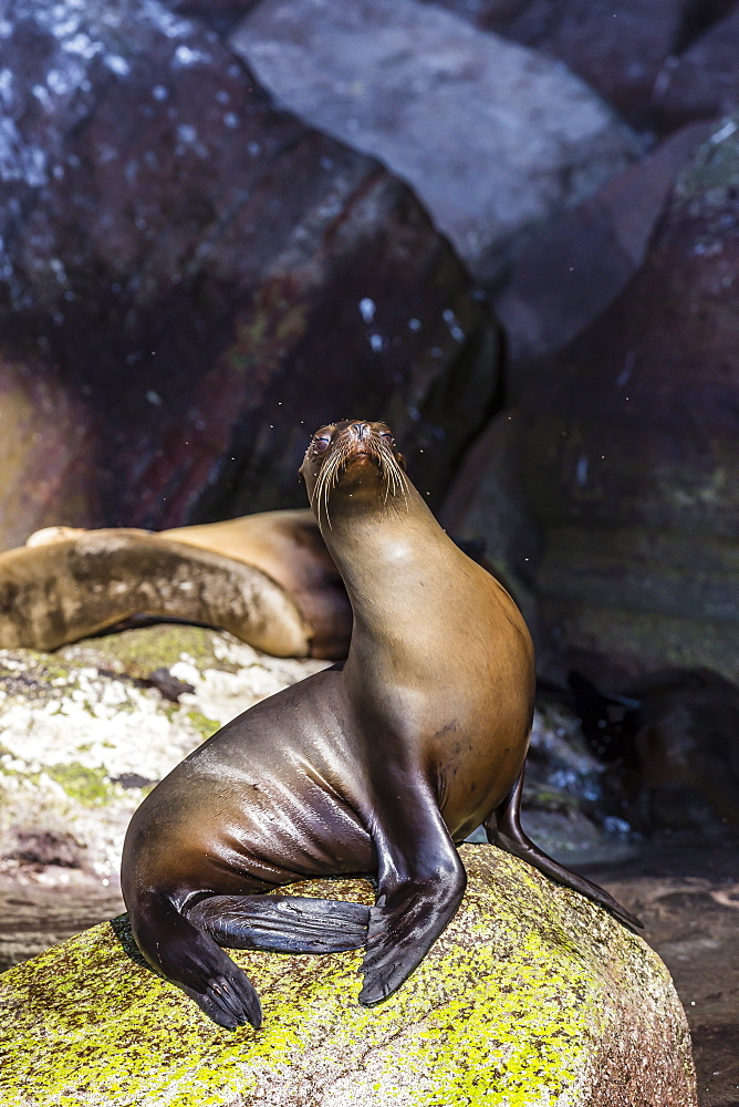 California sea lion (Zalophus californianus) on Isla San Pedro Martir, Baja California, Mexico, North America