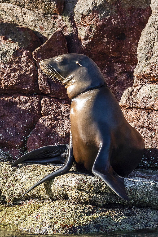 California sea lion (Zalophus californianus) with monofilament net around its neck on Los Islotes, Baja California Sur, Mexico, North America