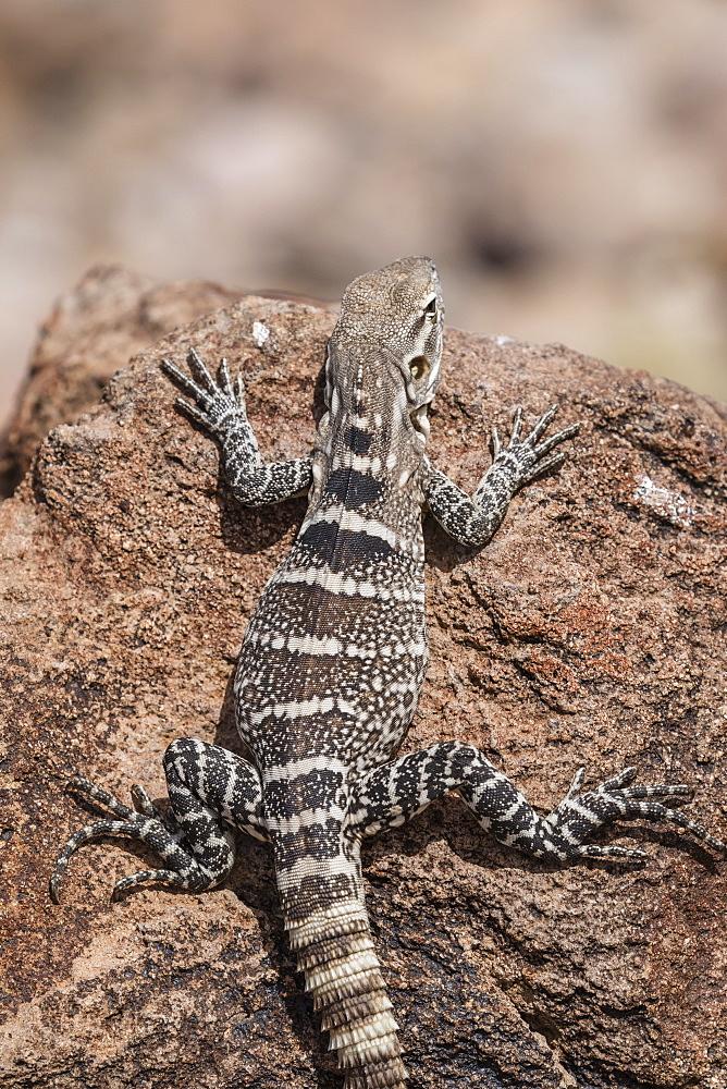 A juvenile spiny-tailed iguana (Ctenosaura conspicuosa), Isla San Esteban, Baja California, Mexico, North America