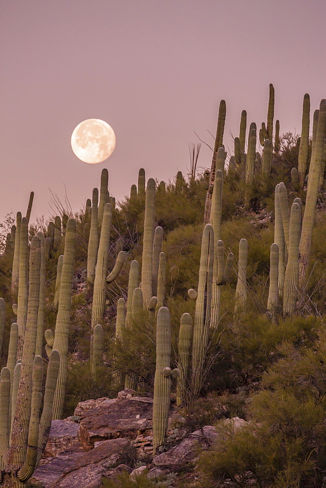 Giant saguaro cactus (Carnegiea gigantea), under full moon in the Catalina Mountains, Tucson, Arizona, United States of America, North America