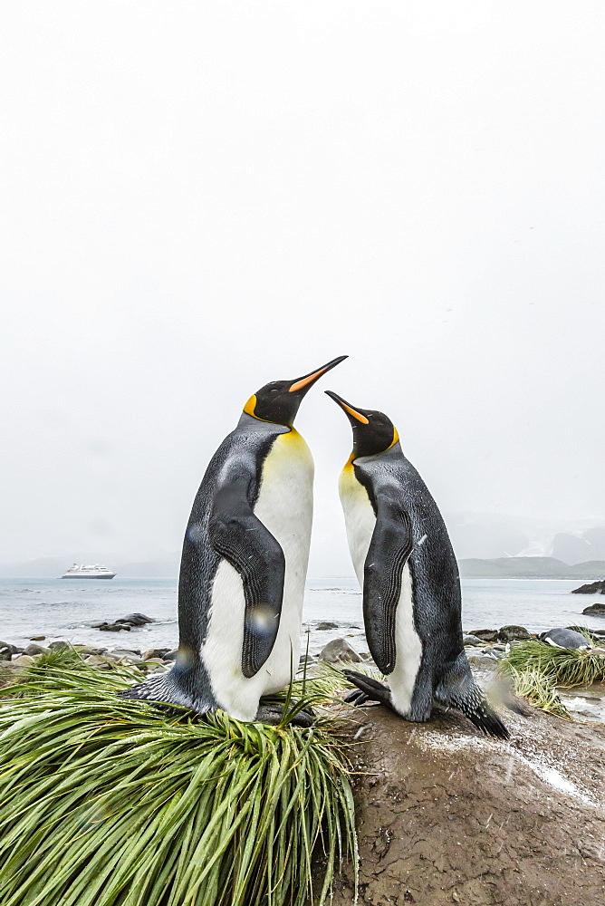 King penguins (Aptenodytes patagonicus) courtship display on the beach at Gold Harbour, South Georgia, Polar Regions