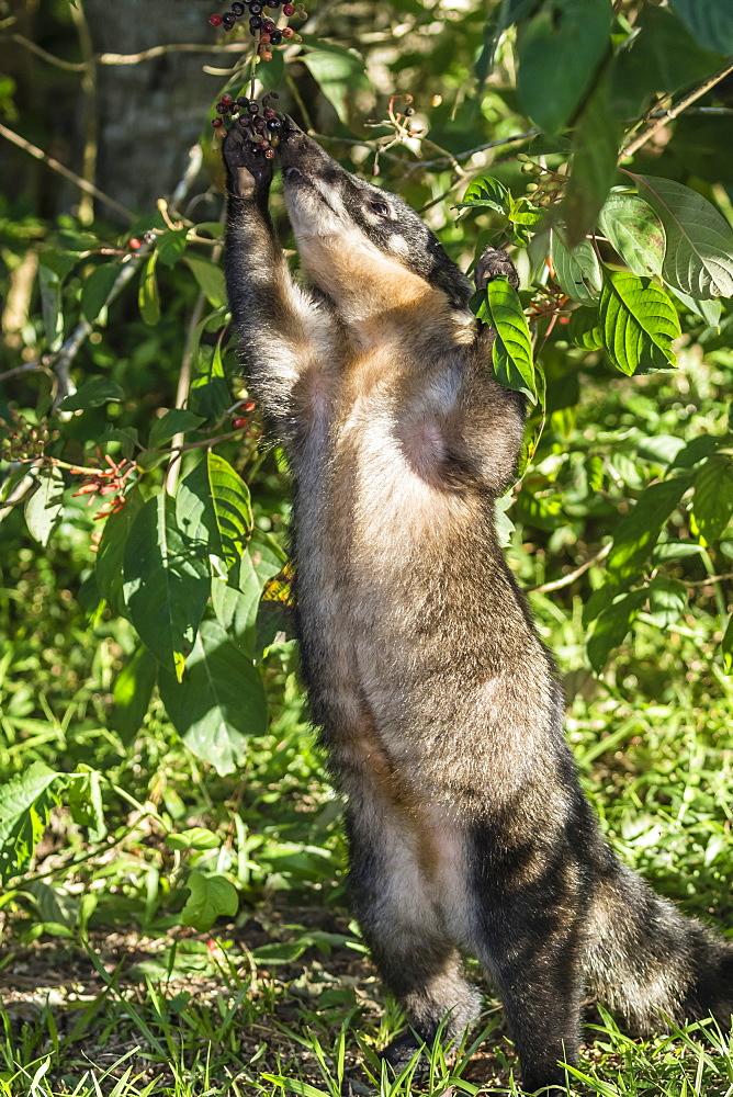 Adult South American coati (Nasua nasua), foraging, Iguazu Falls National Park, Misiones, Argentina, South America