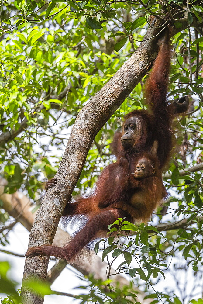 Reintroduced mother and infant orangutan (Pongo pygmaeus) in tree in Tanjung Puting National Park, Borneo, Indonesia, Southeast Asia, Asia