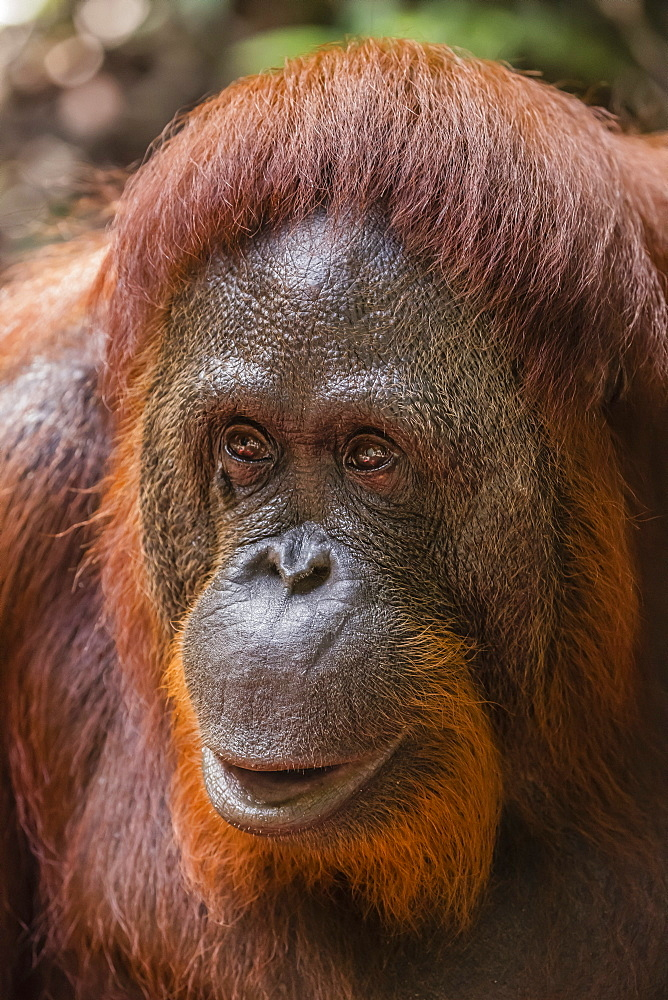 Reintroduced female orangutan (Pongo pygmaeus), Camp Leakey, Tanjung Puting National Park, Borneo, Indonesia, Southeast Asia, Asia