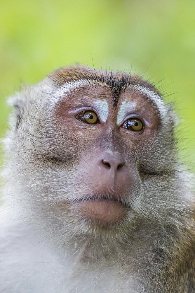 Long-tailed macaque (Macaca fascicularis), Bako National Park, Sarawak, Borneo, Malaysia, Southeast Asia, Asia