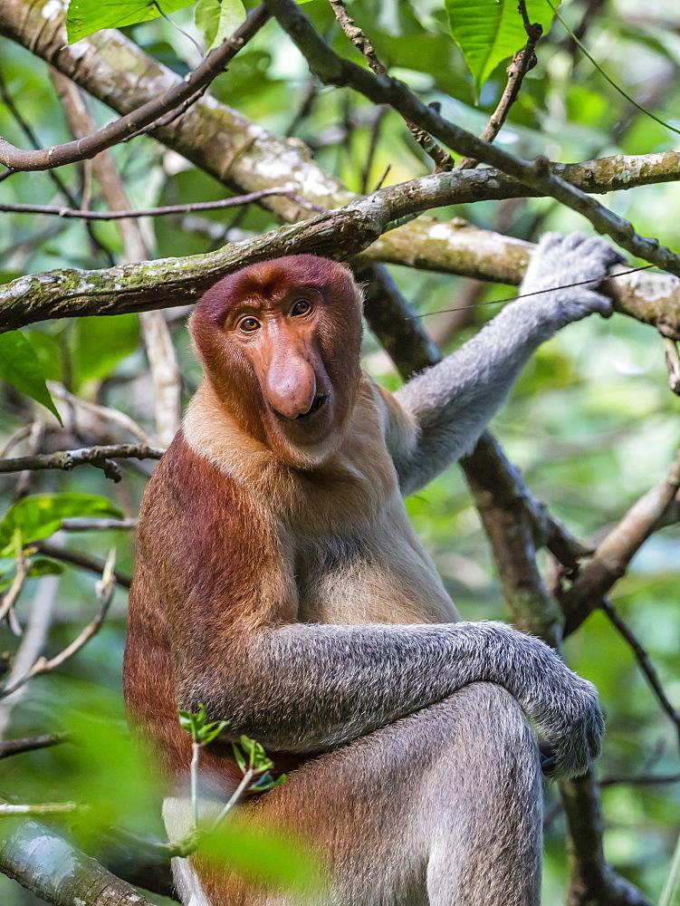 Adult proboscis monkey (Nasalis larvatus) foraging in Bako National Park, Sarawak, Borneo, Malaysia, Southeast Asia, Asia