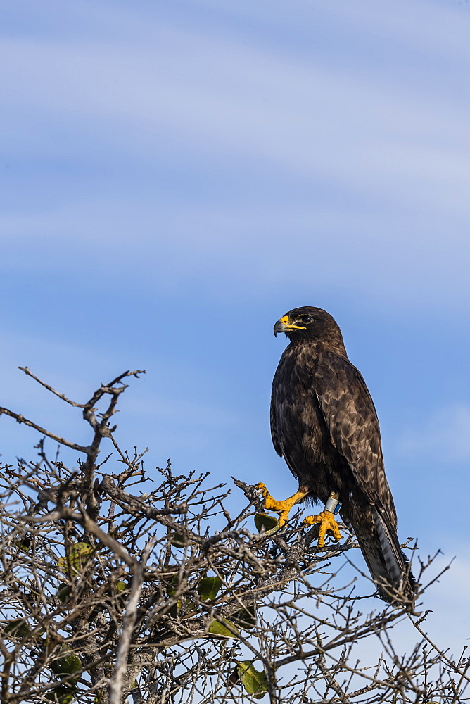 Adult Galapagos hawk (Buteo galapagoensis), Fernandina Island, Galapagos, Ecuador, South America - 1112-3441