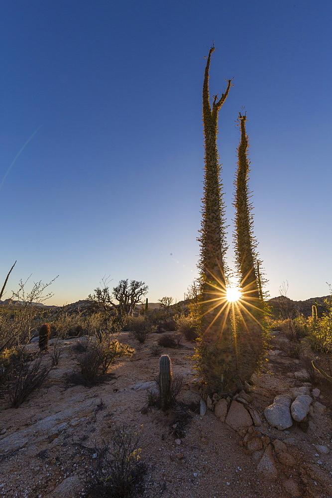 Boojum (Cirio) (Fouquieria columnaris) tree at sunset, Rancho Santa Inez, Baja California, Mexico, North America