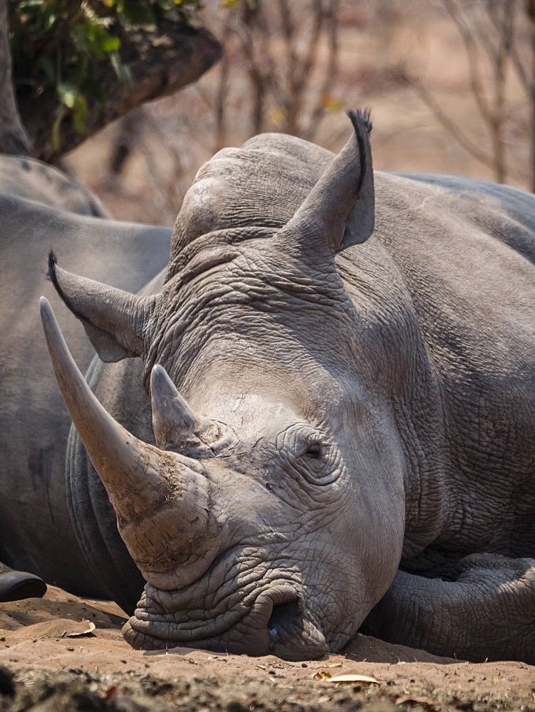 An adult southern white rhinoceros, Ceratotherium simum simum, guarded in Mosi-oa-Tunya National Park, Zambia.