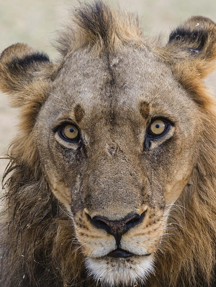 An adult male lion (Panthera leo), South Luangwa National Park, Zambia, Africa